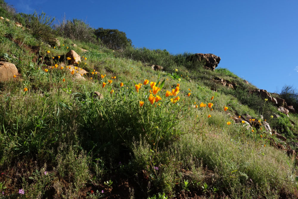 50 Best Short Hikes San Diego, Don Endicott, Jerry Schad, San Diego wildflowers